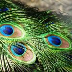 Peacock-feathers-700×420