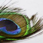 peacock-feather-18.10.17-2-e1518087312624